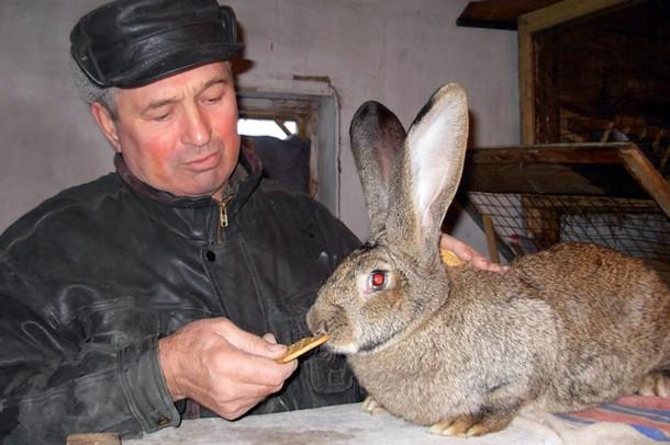 Кролик-великан, большие уши.
