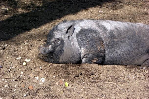 Вьетнамская свинья.