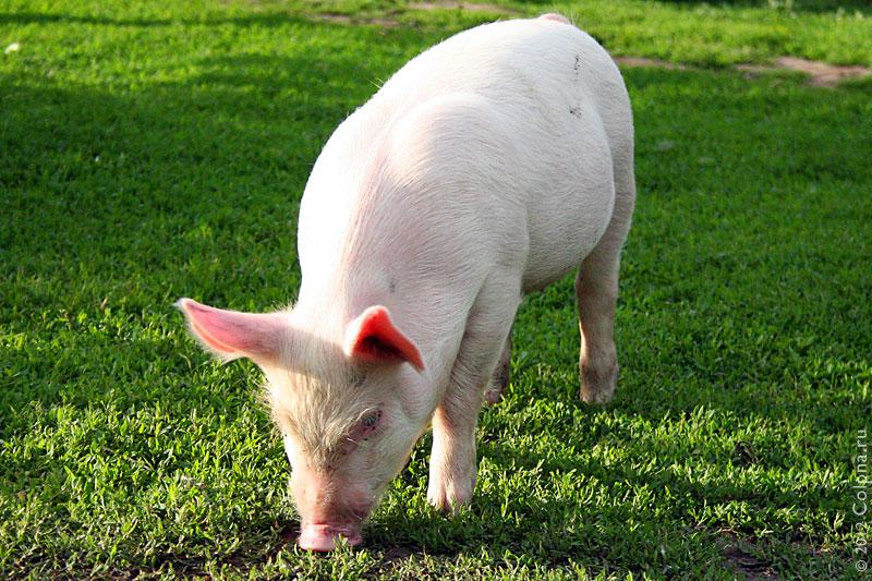 Молодая свинка.