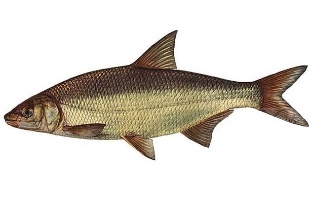 Рыбец.